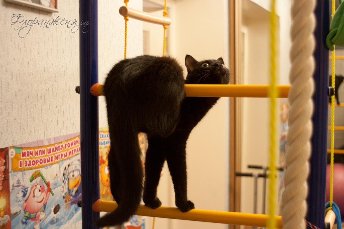 Даже кошка Няма имеет свое Вебимхо в стиле Провокацци Анри Бельвезье по поводу моей победы